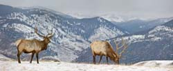 Elk in Winter - Yellowstone