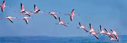 Flamingos in Flight - Kenya