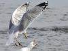 thumb gull attack_DSC7297
