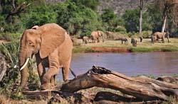 Elephants - Kenya