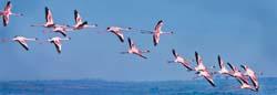 Flamingos in Flight - Kenya