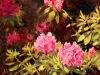 6-Rhododendrons