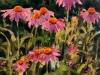 9-Echinaceas