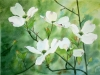 American Dogwood, watercolor, 24x25, Ann C. Taylor