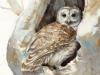 16_Barred-Owl